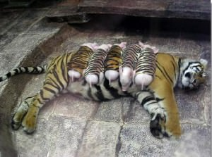 Tiger nuturing piglets in a zoo in Thailand