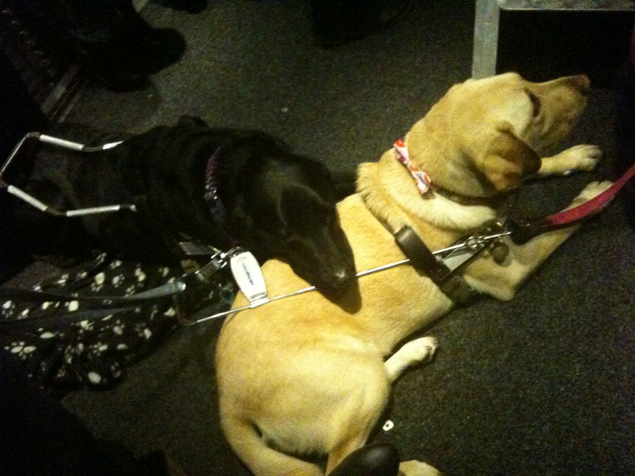 Zeke and Vandra, guide dogs
