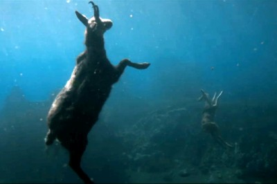 The Returned Serge et Toni — a deer floats, drowned, in the depths of the dam